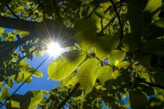Wallnußbaum (Juglans regia), Sonnenstrahlen