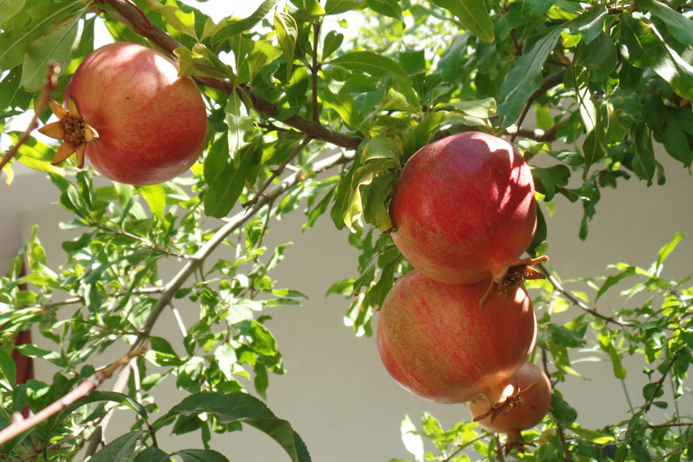 Granatapfel 1