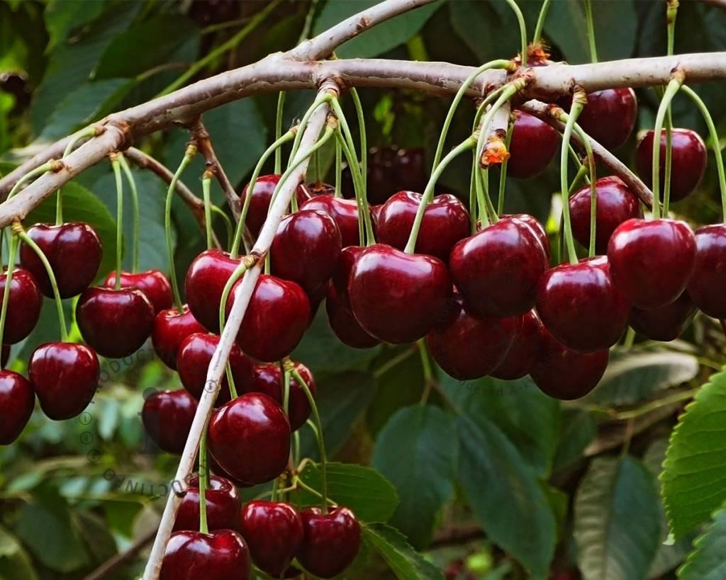 Prunus av.'Regina'